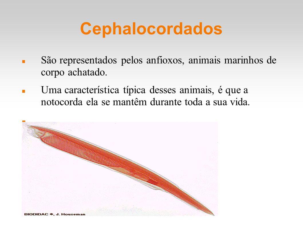 Cephalocordados São representados pelos anfioxos, animais marinhos de corpo achatado. Uma característica típica desses animais, é que a notocorda ela