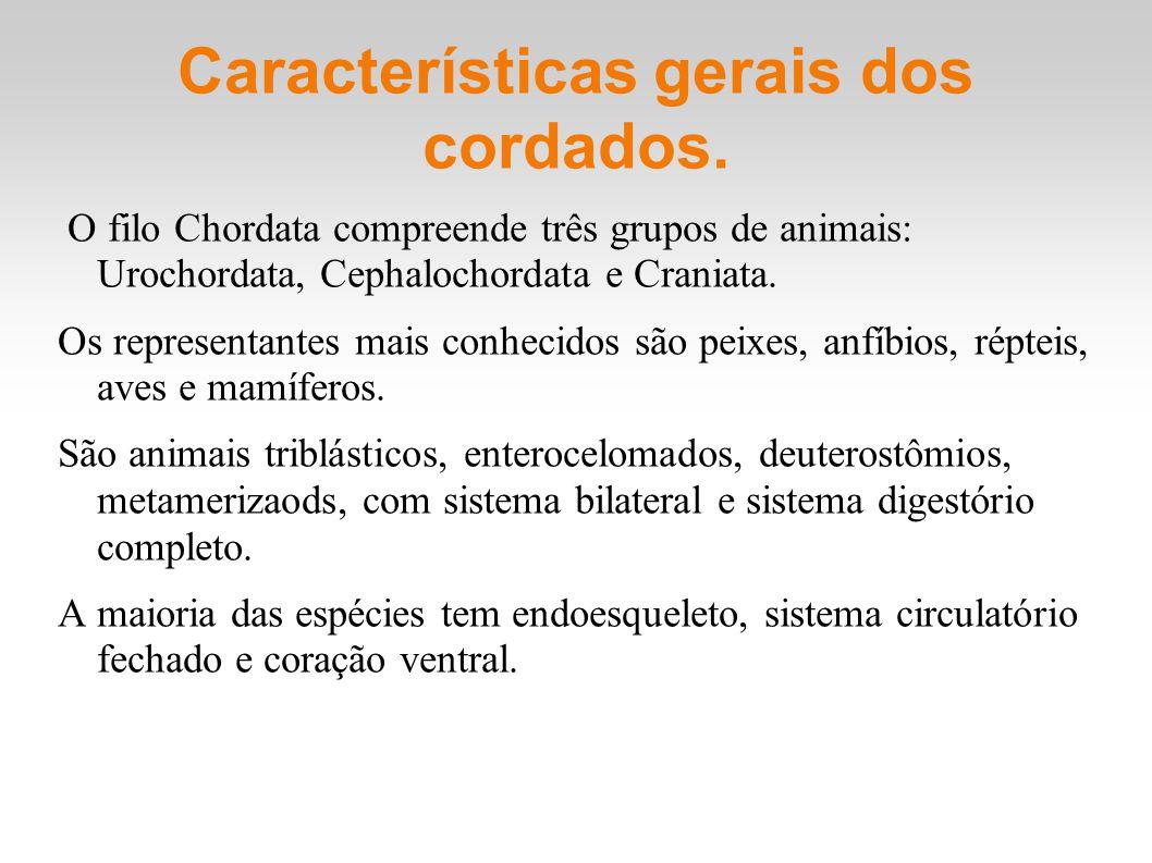 Características gerais dos cordados. O filo Chordata compreende três grupos de animais: Urochordata, Cephalochordata e Craniata. Os representantes mai