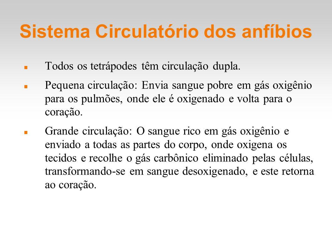 Sistema Circulatório dos anfíbios Todos os tetrápodes têm circulação dupla. Pequena circulação: Envia sangue pobre em gás oxigênio para os pulmões, on