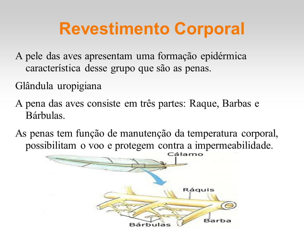 Revestimento Corporal A pele das aves apresentam uma formação epidérmica característica desse grupo que são as penas. Glândula uropigiana A pena das a
