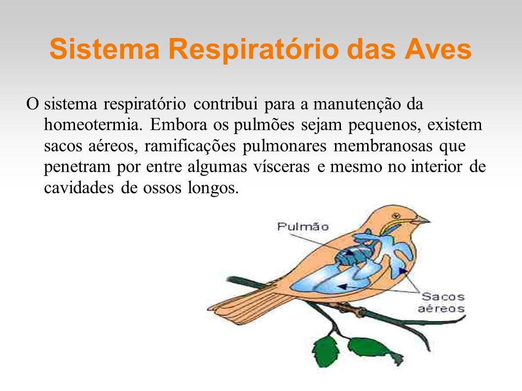 Sistema Respiratório das Aves O sistema respiratório contribui para a manutenção da homeotermia. Embora os pulmões sejam pequenos, existem sacos aéreo