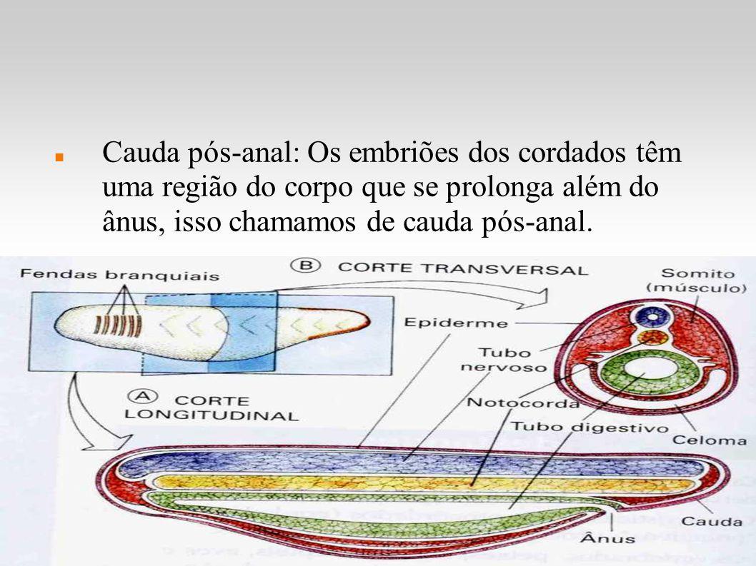 Cauda pós-anal: Os embriões dos cordados têm uma região do corpo que se prolonga além do ânus, isso chamamos de cauda pós-anal.