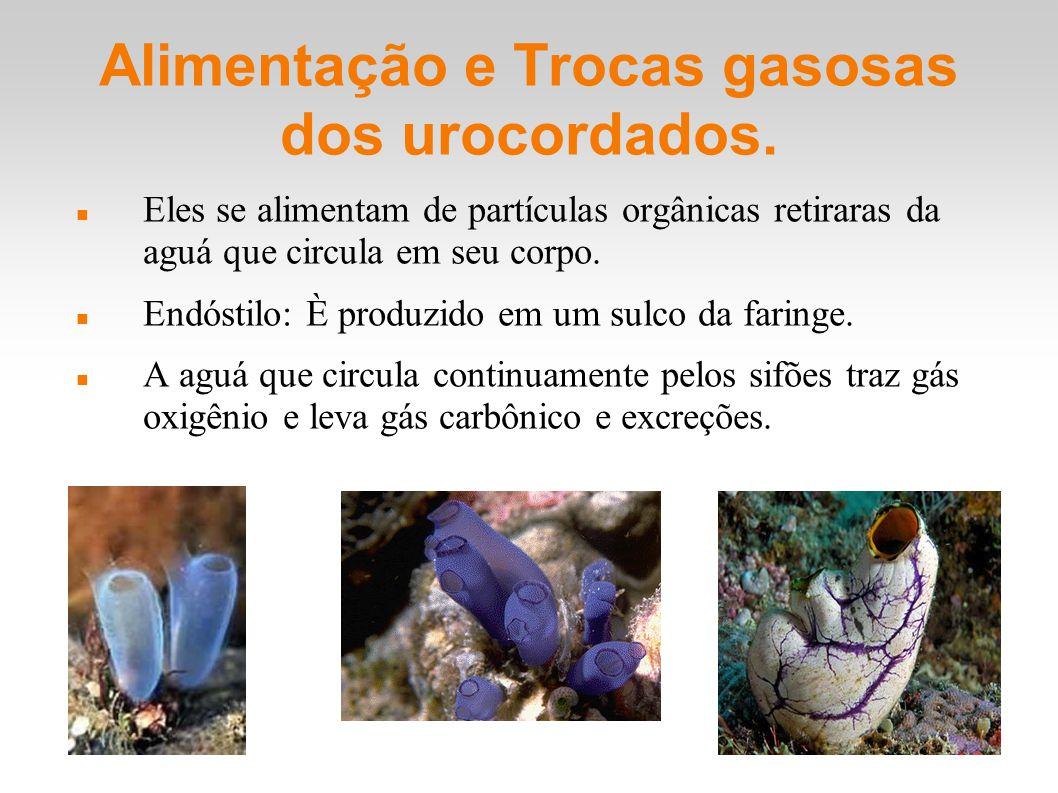 Alimentação e Trocas gasosas dos urocordados. Eles se alimentam de partículas orgânicas retiraras da aguá que circula em seu corpo. Endóstilo: È produ