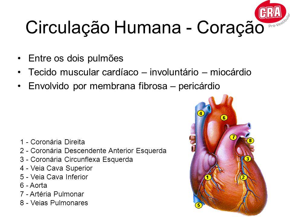 Circulação Humana - Coração Entre os dois pulmões Tecido muscular cardíaco – involuntário – miocárdio Envolvido por membrana fibrosa – pericárdio 1 -