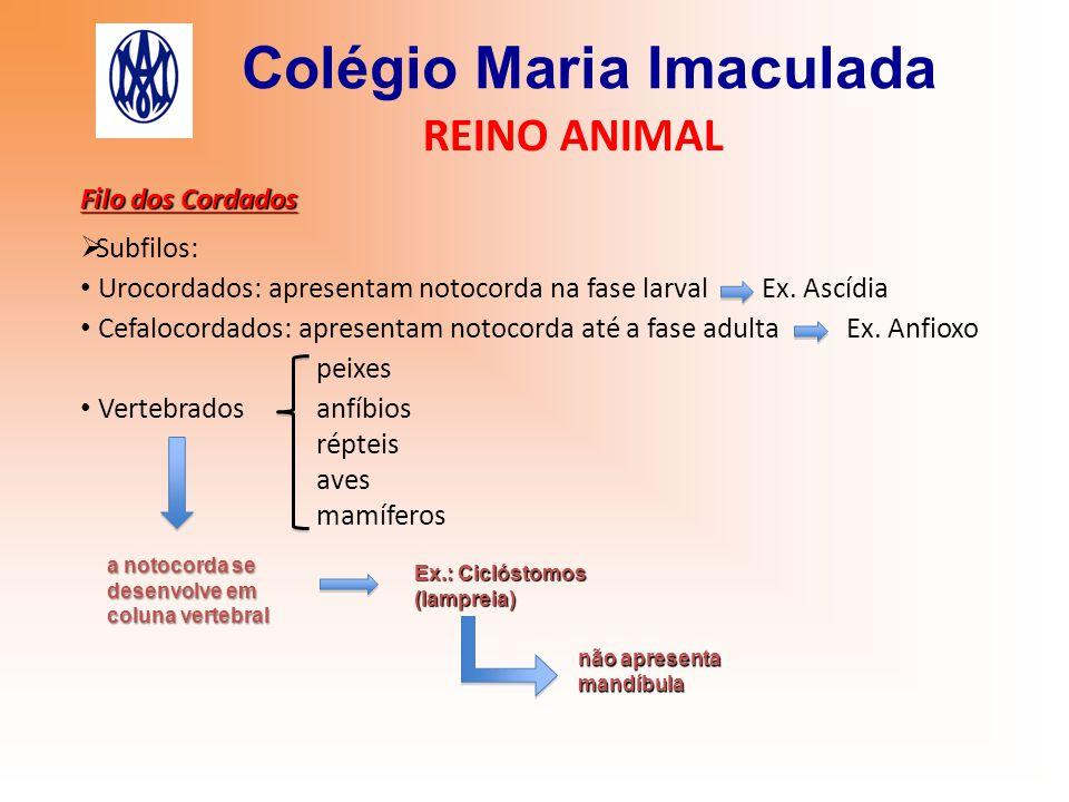 Colégio Maria Imaculada REINO ANIMAL Filo dos Cordados  Subfilos: Urocordados: apresentam notocorda na fase larval Ex. Ascídia Cefalocordados: aprese
