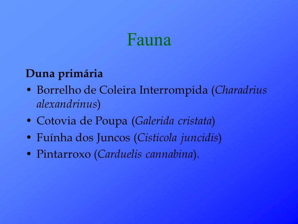 Fauna Duna primária Borrelho de Coleira Interrompida ( Charadrius alexandrinus ) Cotovia de Poupa ( Galerida cristata ) Fuínha dos Juncos ( Cisticola juncidis ) Pintarroxo ( Carduelis cannabina ).