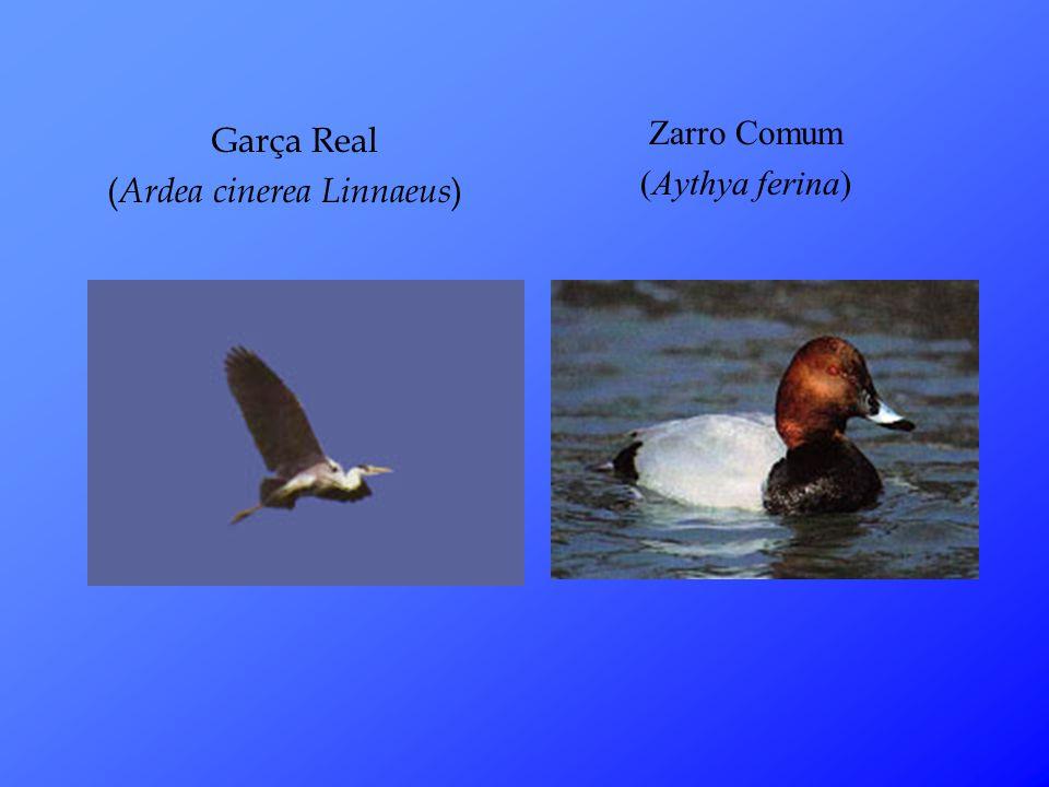 Garça Real ( Ardea cinerea Linnaeus ) Zarro Comum (Aythya ferina)