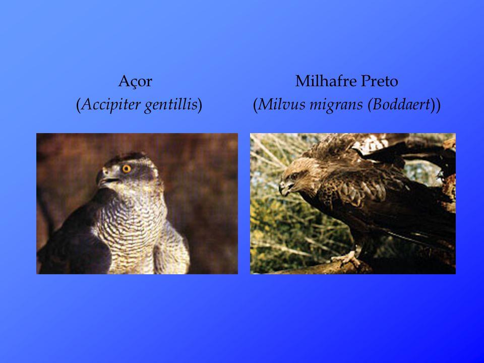 Açor ( Accipiter gentillis ) Milhafre Preto ( Milvus migrans (Boddaert ))