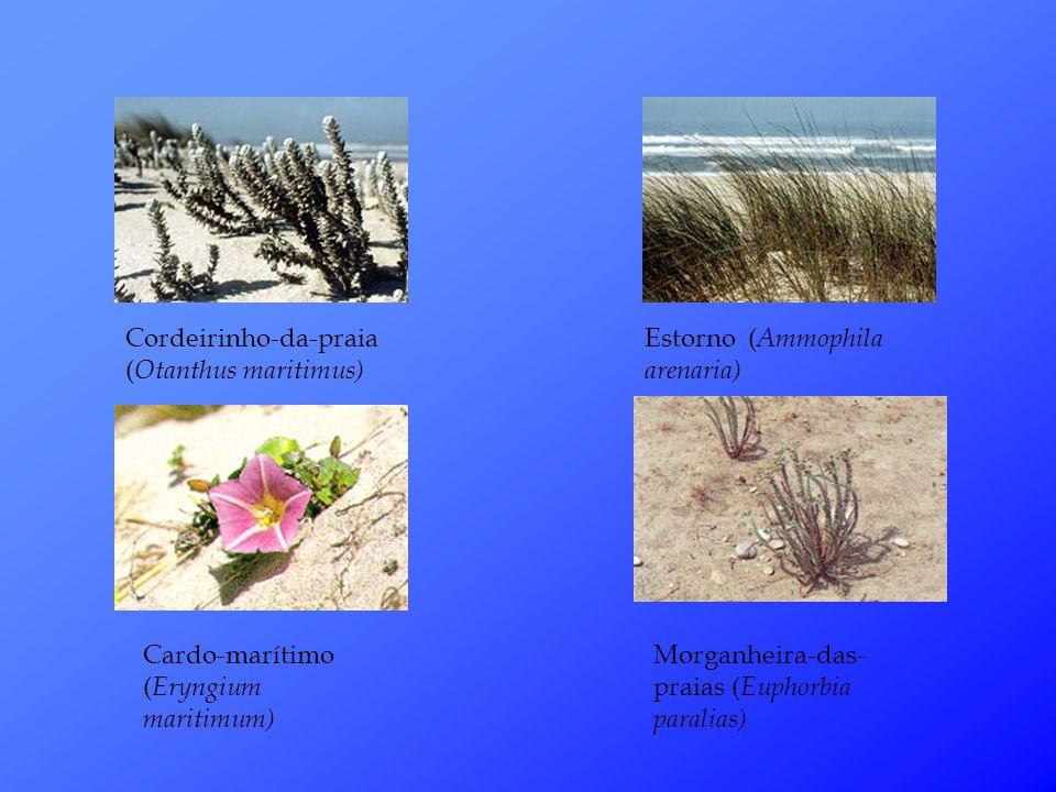 Cordeirinho-da-praia ( Otanthus maritimus) Estorno ( Ammophila arenaria) Cardo-marítimo ( Eryngium maritimum) Morganheira-das- praias ( Euphorbia paralias)