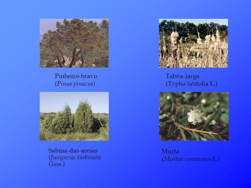 Pinheiro-bravo ( Pinus pinacus) Sabina-das-areias ( Juniperus turbinata Guss.) Tabúa-larga (Typha latifolia L.) Murta ( Myrtus communis L.)