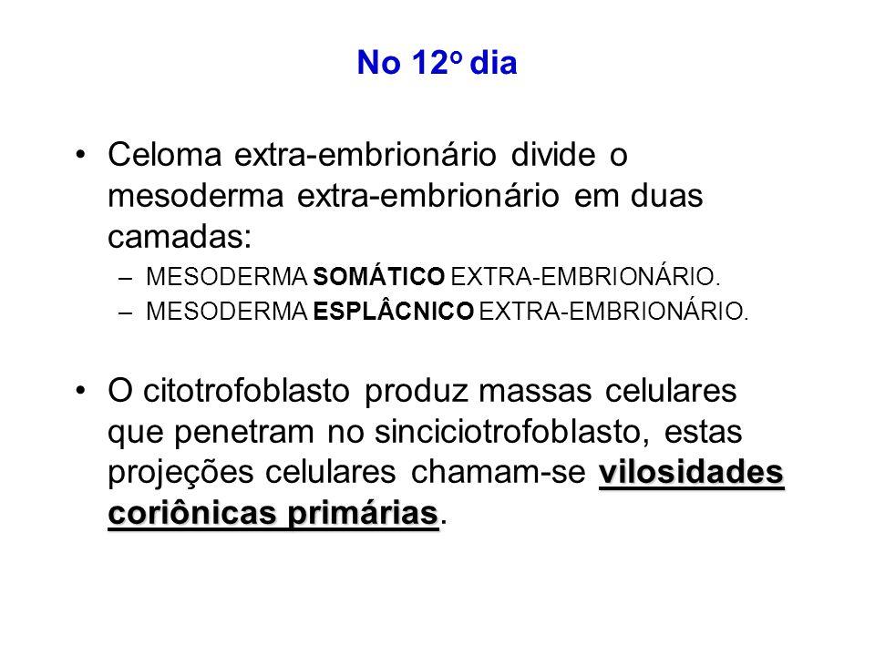 No 12 o dia Celoma extra-embrionário divide o mesoderma extra-embrionário em duas camadas: –MESODERMA SOMÁTICO EXTRA-EMBRIONÁRIO.