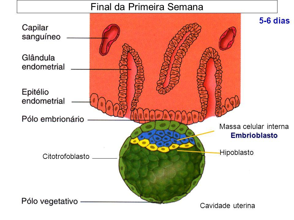 Final da Primeira Semana 5-6 dias Embrioblasto Massa celular interna Embrioblasto Cavidade uterina Citotrofoblasto Hipoblasto