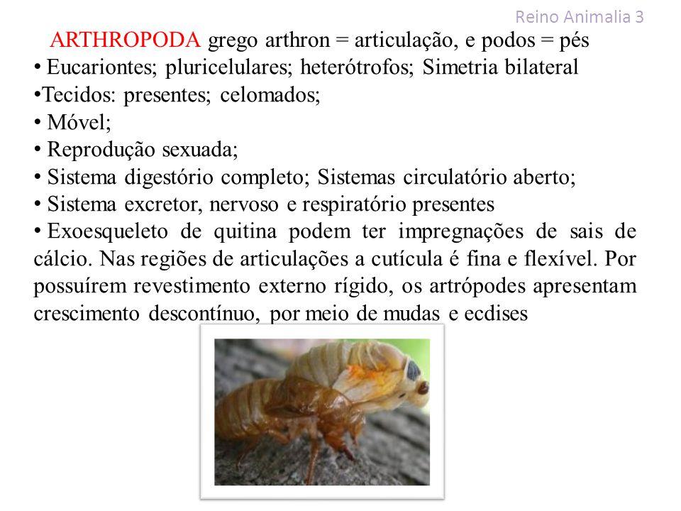 Reino Animalia 3 ARTHROPODA grego arthron = articulação, e podos = pés Eucariontes; pluricelulares; heterótrofos; Simetria bilateral Tecidos: presente