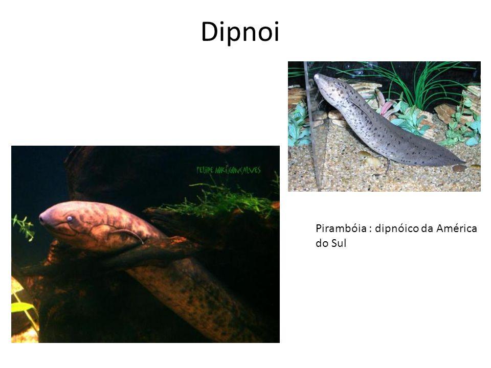 Dipnoi Pirambóia : dipnóico da América do Sul