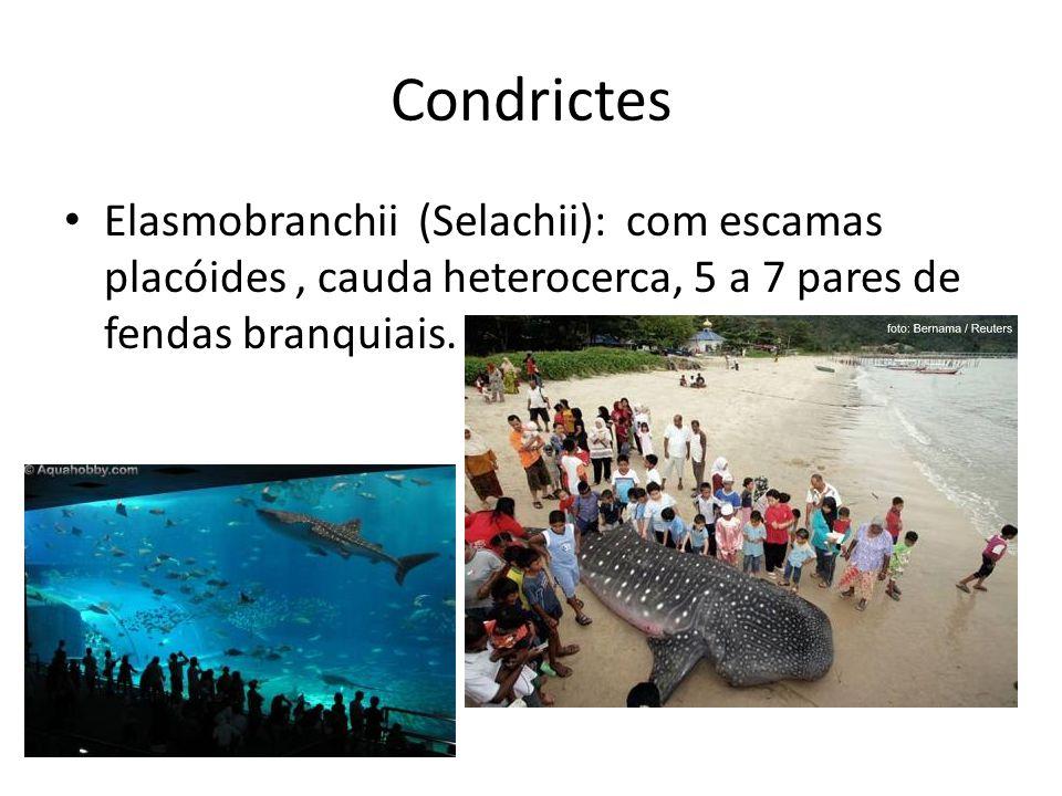 Condrictes Elasmobranchii (Selachii): com escamas placóides, cauda heterocerca, 5 a 7 pares de fendas branquiais.