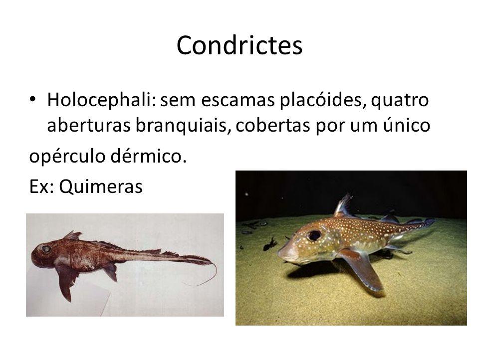 Condrictes Holocephali: sem escamas placóides, quatro aberturas branquiais, cobertas por um único opérculo dérmico. Ex: Quimeras