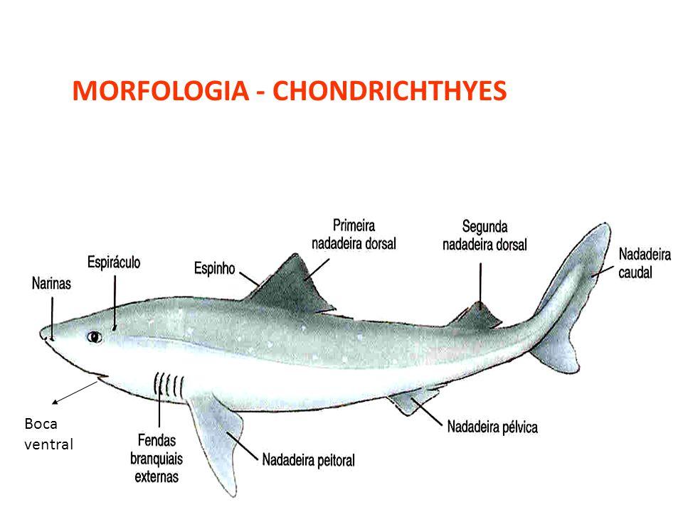 Boca ventral MORFOLOGIA - CHONDRICHTHYES