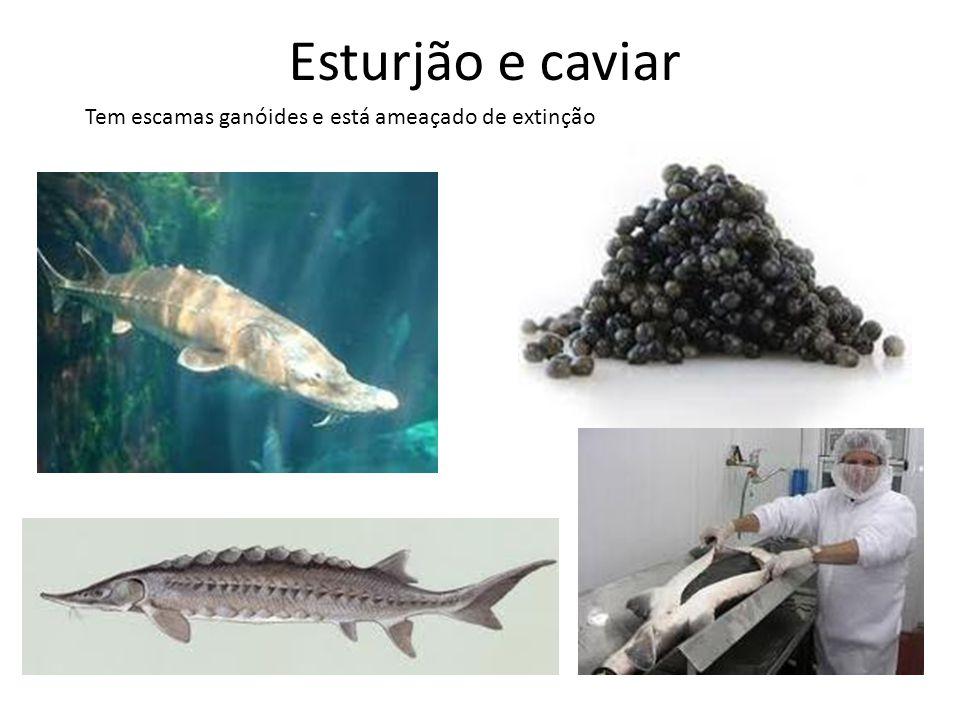Esturjão e caviar Tem escamas ganóides e está ameaçado de extinção