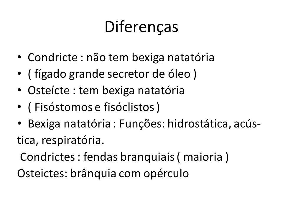 Diferenças Condricte : não tem bexiga natatória ( fígado grande secretor de óleo ) Osteícte : tem bexiga natatória ( Fisóstomos e fisóclistos ) Bexiga