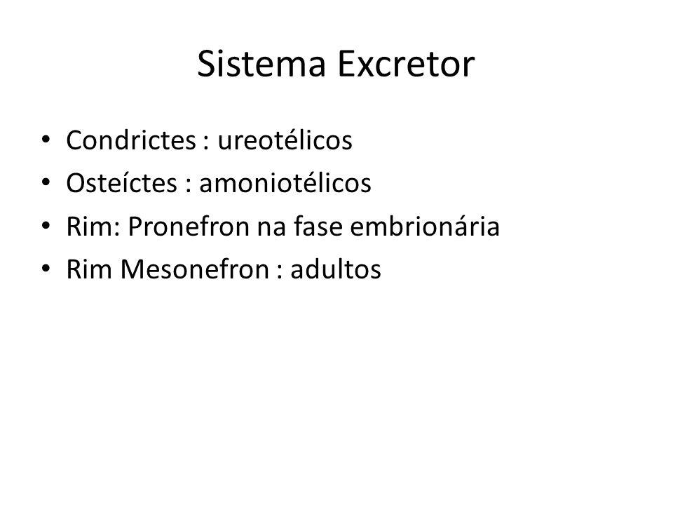 Sistema Excretor Condrictes : ureotélicos Osteíctes : amoniotélicos Rim: Pronefron na fase embrionária Rim Mesonefron : adultos