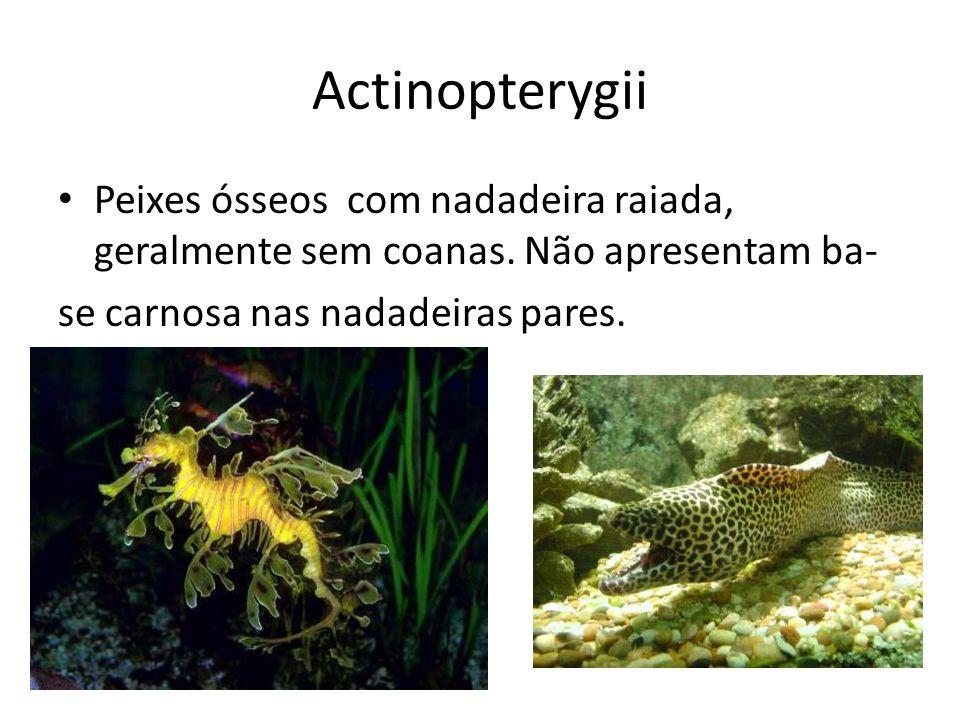 Actinopterygii Peixes ósseos com nadadeira raiada, geralmente sem coanas. Não apresentam ba- se carnosa nas nadadeiras pares. ex: maioria dos peixes.