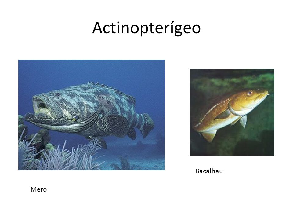 Actinopterígeo Bacalhau Mero
