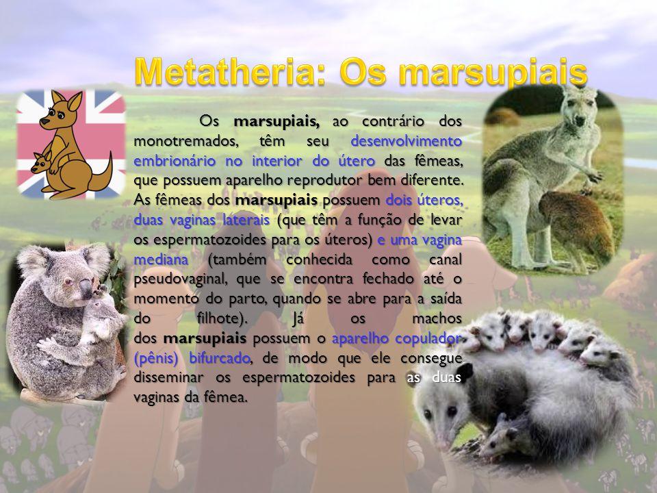 Os marsupiais, ao contrário dos monotremados, têm seu desenvolvimento embrionário no interior do útero das fêmeas, que possuem aparelho reprodutor bem