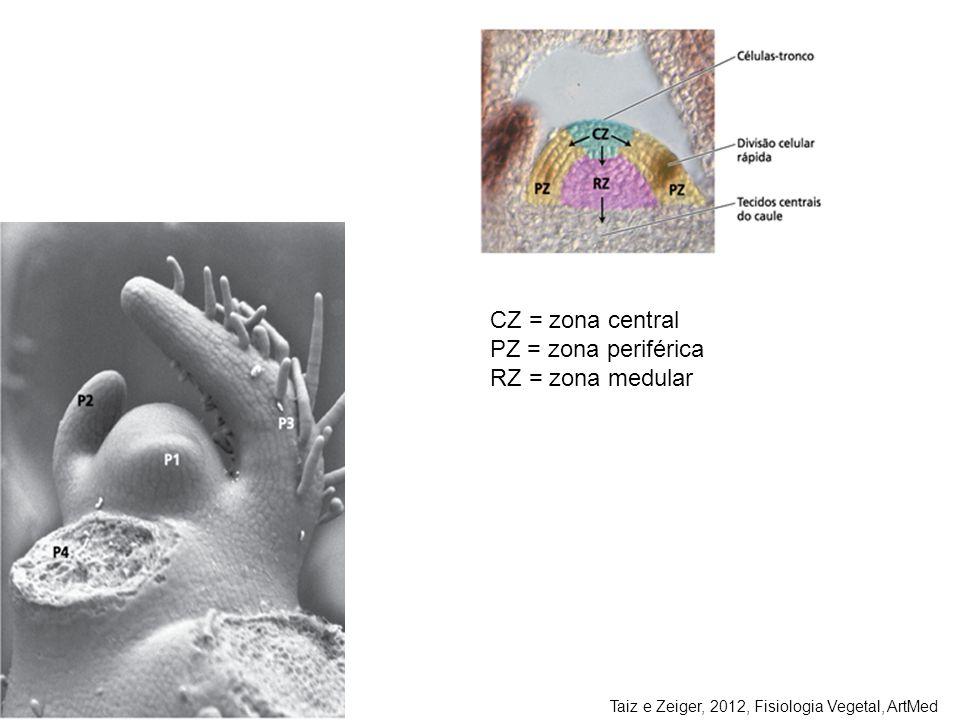 Taiz e Zeiger, 2012, Fisiologia Vegetal, ArtMed CZ = zona central PZ = zona periférica RZ = zona medular