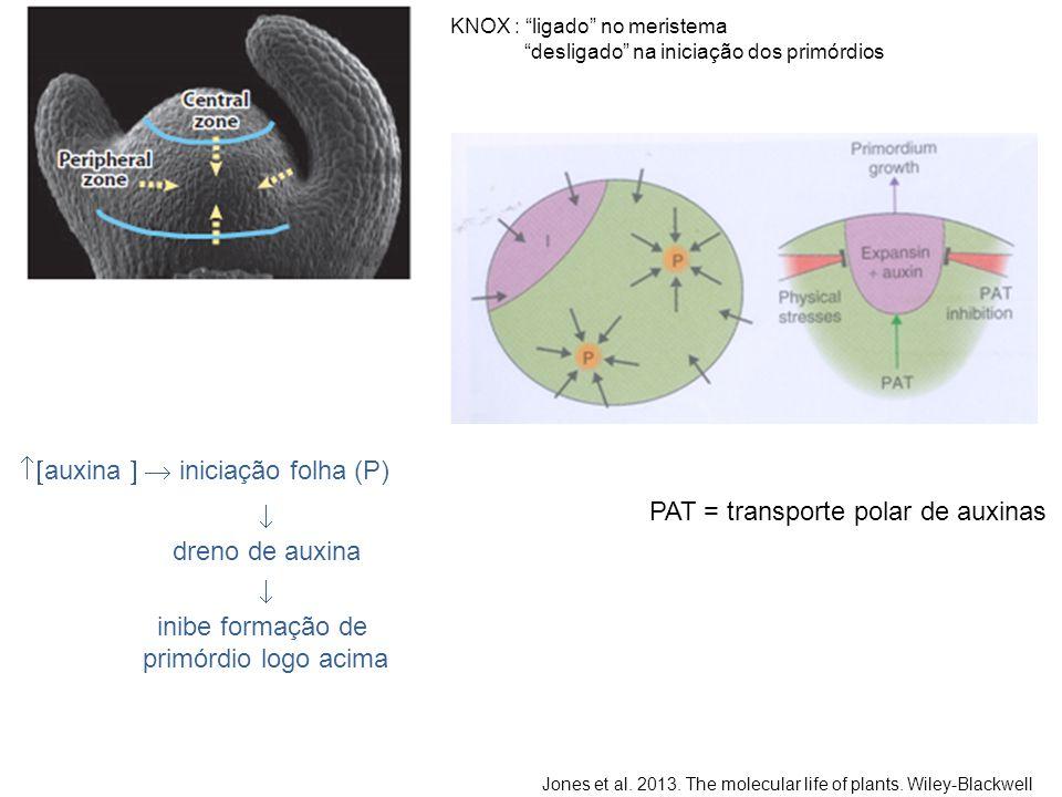  auxina   iniciação folha (P)  dreno de auxina  inibe formação de primórdio logo acima Jones et al. 2013. The molecular life of plants. Wiley-Bl