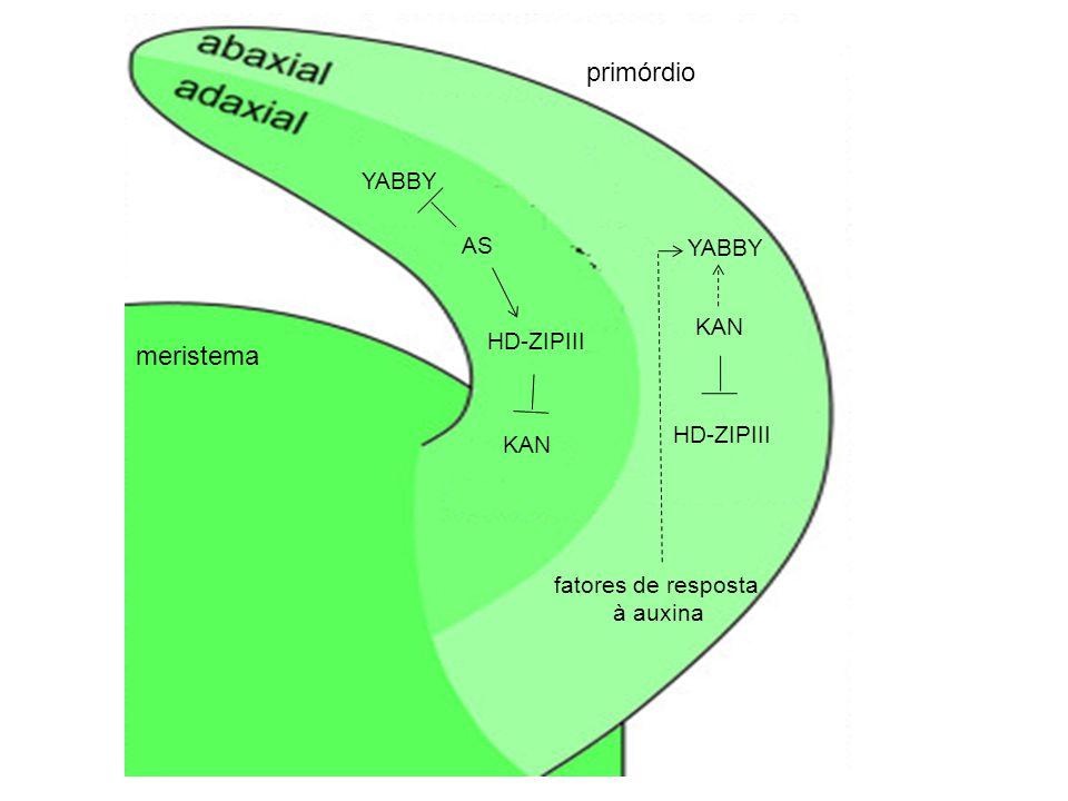 YABBY AS HD-ZIPIII KAN YABBY KAN HD-ZIPIII fatores de resposta à auxina meristema primórdio