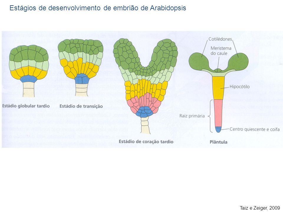 Taiz e Zeiger, 2009 Estágios de desenvolvimento de embrião de Arabidopsis