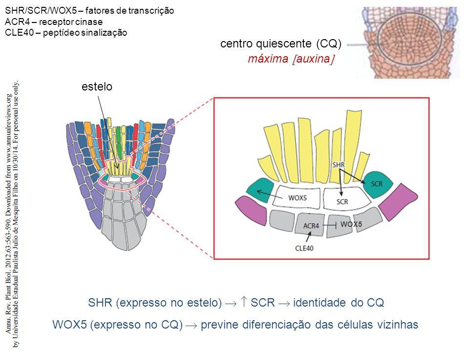 centro quiescente (CQ) SHR (expresso no estelo)   SCR  identidade do CQ máxima  auxina  WOX5 (expresso no CQ)  previne diferenciação das células vizinhas WOX5 estelo SHR/SCR/WOX5 – fatores de transcrição ACR4 – receptor cinase CLE40 – peptídeo sinalização
