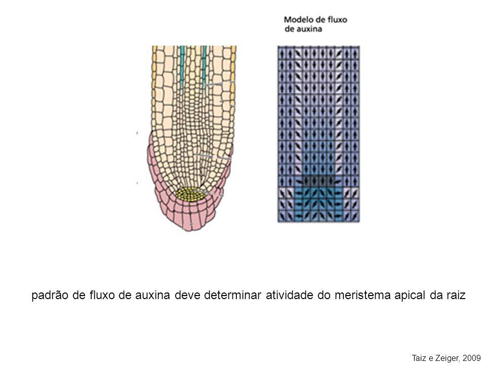 Taiz e Zeiger, 2009 padrão de fluxo de auxina deve determinar atividade do meristema apical da raiz