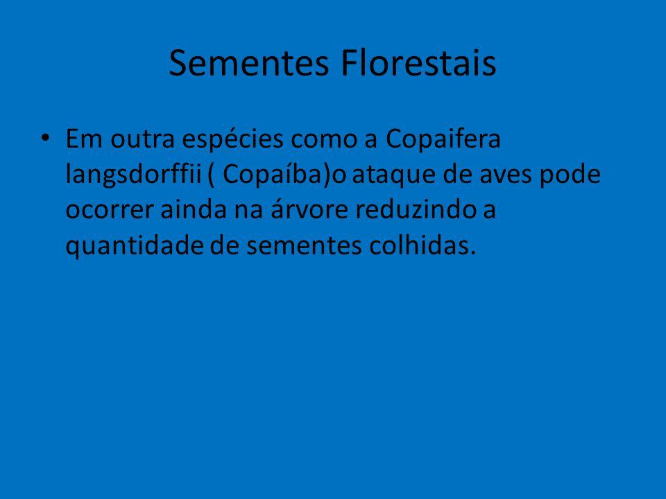 Sementes Florestais Em outra espécies como a Copaifera langsdorffii ( Copaíba)o ataque de aves pode ocorrer ainda na árvore reduzindo a quantidade de