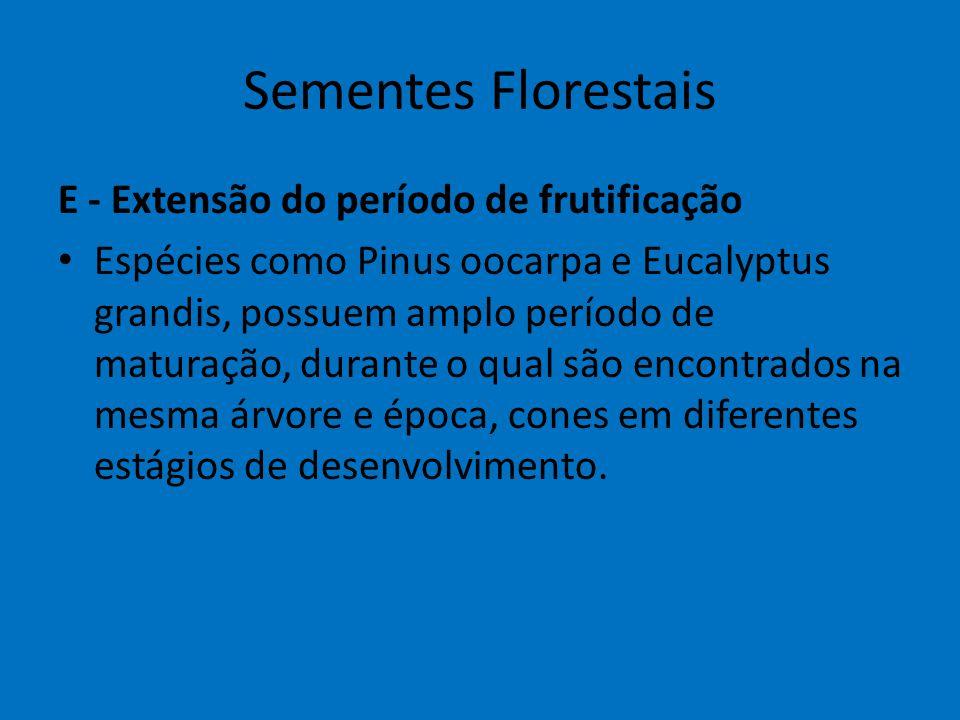 Sementes Florestais E - Extensão do período de frutificação Espécies como Pinus oocarpa e Eucalyptus grandis, possuem amplo período de maturação, dura