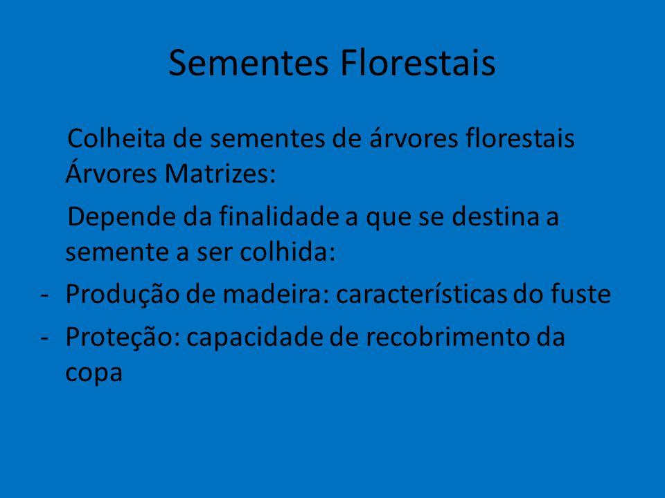 Sementes Florestais Colheita de sementes de árvores florestais Árvores Matrizes: Depende da finalidade a que se destina a semente a ser colhida: -Prod