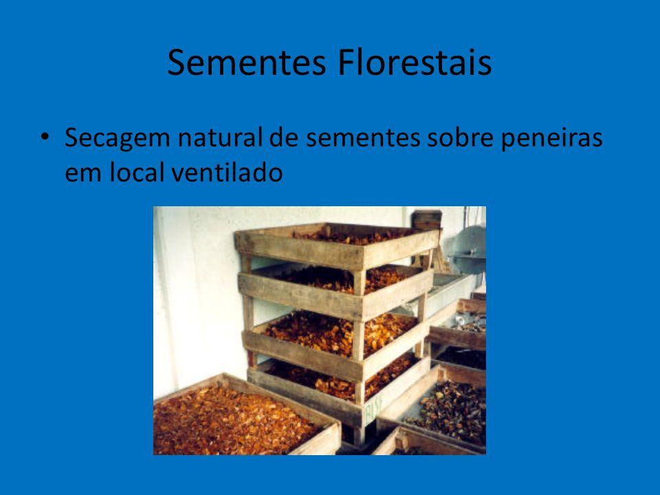 Sementes Florestais Secagem natural de sementes sobre peneiras em local ventilado