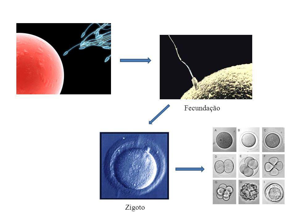 Desenvolvimento embrionário O desenvolvimento embrionário tem início com a primeira divisão mitótica do zigoto e apesar de apresentar algumas particularidades nos diferentes grupos de animais, pode ser dividido em três etapas: SEGMENTAÇÃO GASTRULAÇÃO ORGANOGÊNESE