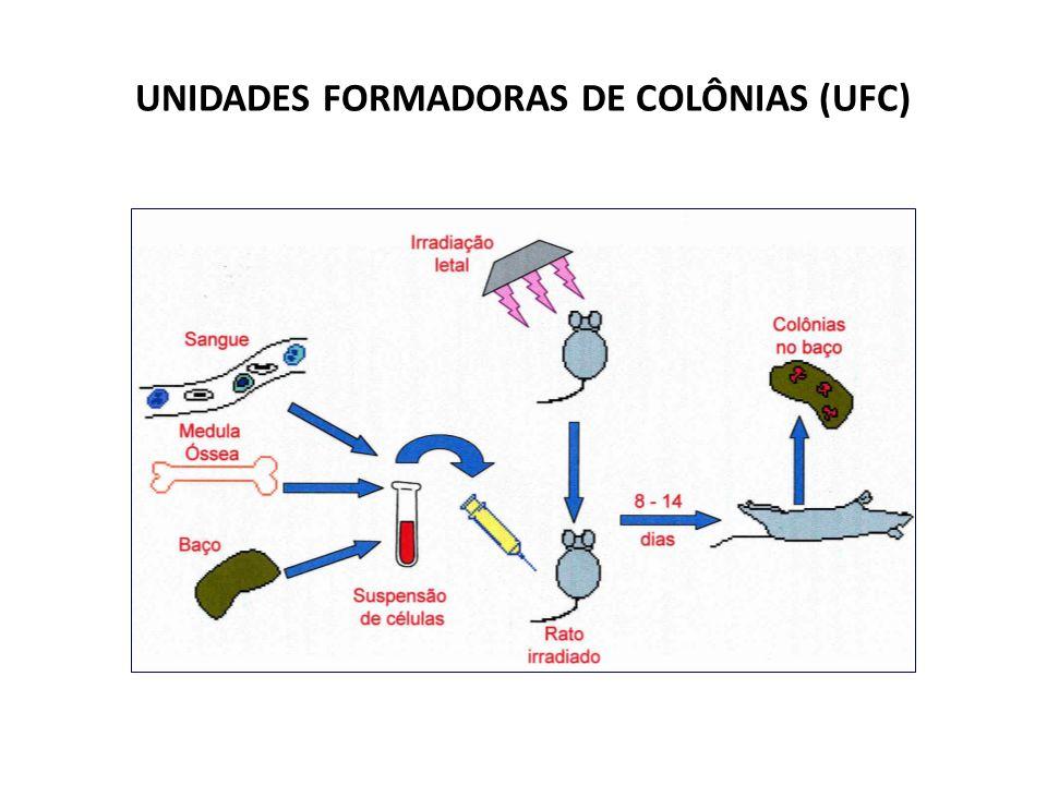 basófilo eosinófilo Células Hematopoéticas Primitivas e Progenitoras primitiva pluripotente CFU GEMM progenitor mielóide misto BFU- E CFU - E unidade