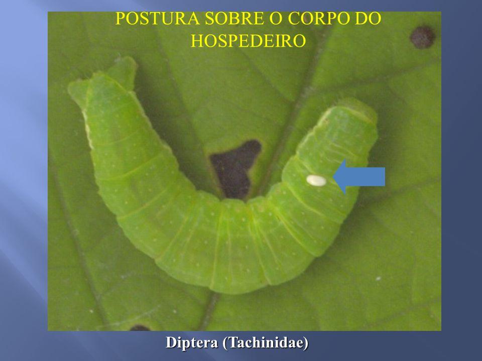 Diptera (Tachinidae) POSTURA SOBRE O CORPO DO HOSPEDEIRO