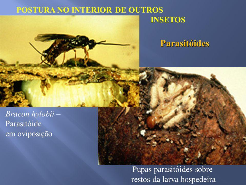 POSTURA NO INTERIOR DE OUTROS INSETOS Parasitóides Bracon hylobii – Parasitóide em oviposição Pupas parasitóides sobre restos da larva hospedeira