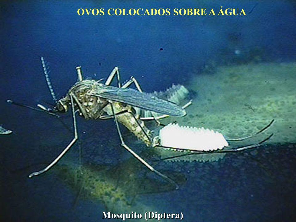 OVOS COLOCADOS SOBRE A ÁGUA Mosquito (Diptera)