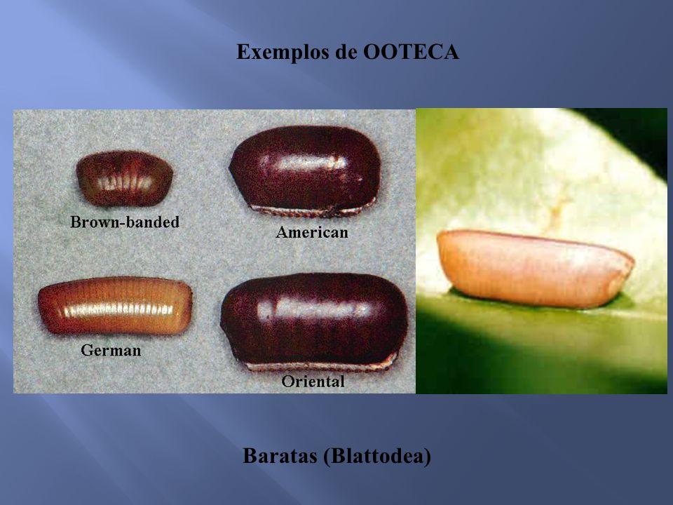 Exemplos de OOTECA Baratas (Blattodea)