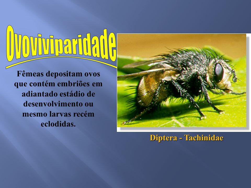 Fêmeas depositam ovos que contém embriões em adiantado estádio de desenvolvimento ou mesmo larvas recém eclodidas. Diptera - Tachinidae