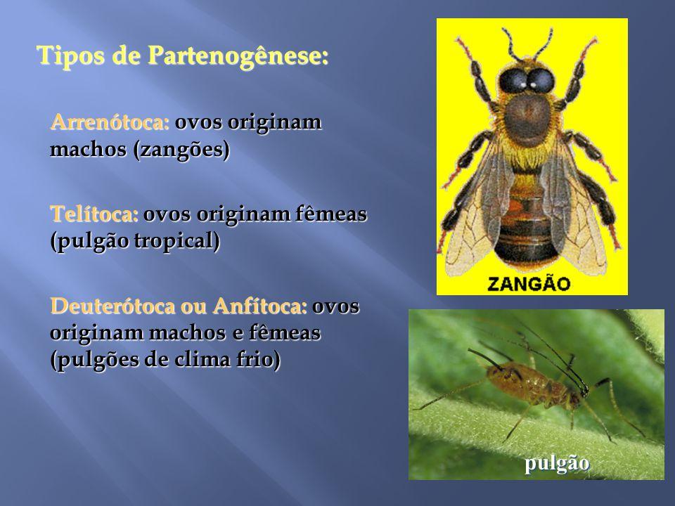 Tipos de Partenogênese: Tipos de Partenogênese: Arrenótoca: ovos originam machos (zangões) Telítoca: ovos originam fêmeas (pulgão tropical) Deuterótoc