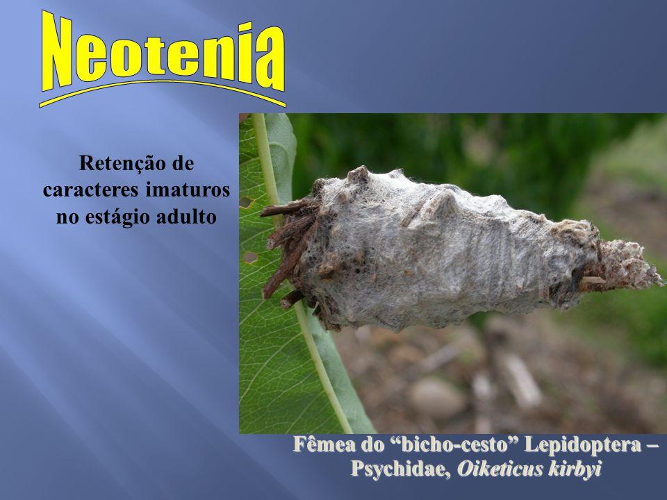 Retenção de caracteres imaturos no estágio adulto Fêmea do bicho-cesto Lepidoptera – Psychidae, Oiketicus kirbyi