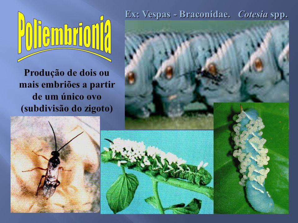 Produção de dois ou mais embriões a partir de um único ovo (subdivisão do zigoto) Ex: Vespas - Braconidae. Cotesia spp.