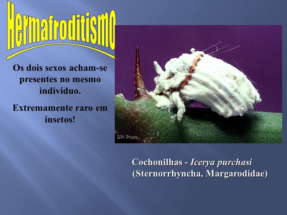 Os dois sexos acham-se presentes no mesmo indivíduo. Extremamente raro em insetos! Cochonilhas - Icerya purchasi (Sternorrhyncha, Margarodidae)