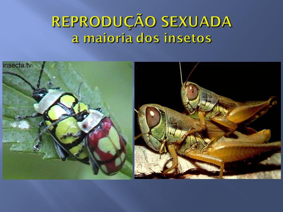 Ovos podem ficar protegidos numa OOTECA (envoltório ou cápsula que encerra os ovos) Louva-a-deus (Mantodea)