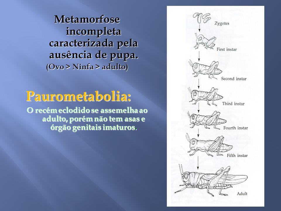 Metamorfose incompleta caracterizada pela ausência de pupa. (Ovo > Ninfa > adulto) Paurometabolia: O recém eclodido se assemelha ao adulto, porém não